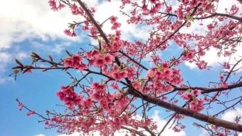 今帰仁グスク桜まつり2019日程とライトアップ時間や駐車場!絶景ポイント